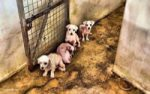 End puppy farms